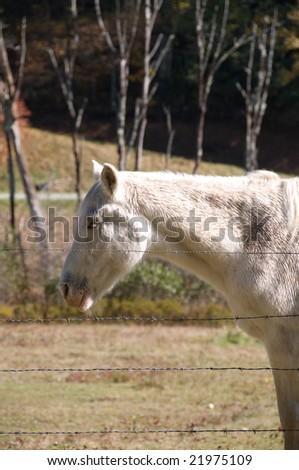 White Mule in a ranch