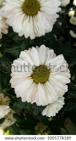 Free photos white mums flowers avopix white mum flowers 1005778189 mightylinksfo