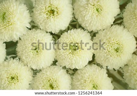 Free Photos White Mums Flowers Avopix
