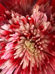 White mum with red spatters on the petals