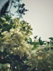white musanda flower- morning sunshine