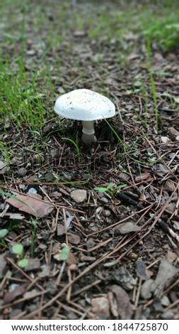White mushroom closeup on soil Stok fotoğraf ©