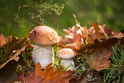 White mushrooms in the woods, on a background of leaves, bright sunlight