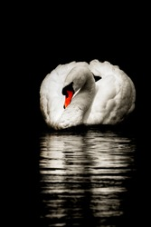 White mute swan creating a reflection in the water in the still of night under the moonlit sky
