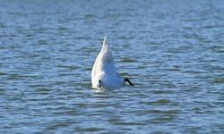 white mute swan (Cygnus olor) diving for food