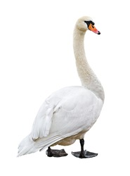White mute swan (Cygnus olor) isolated on blank background. Clipping path included.