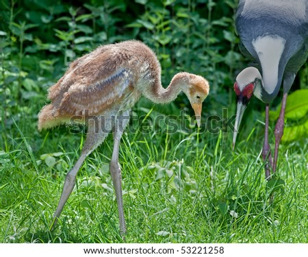 White-naped crane chick and mother, near extinction, from China.