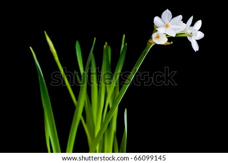 White narcissus isolated on black