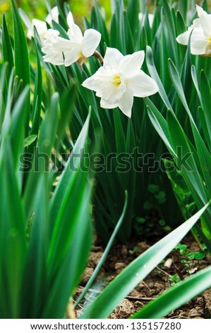 White narcissus with green leaves in soil