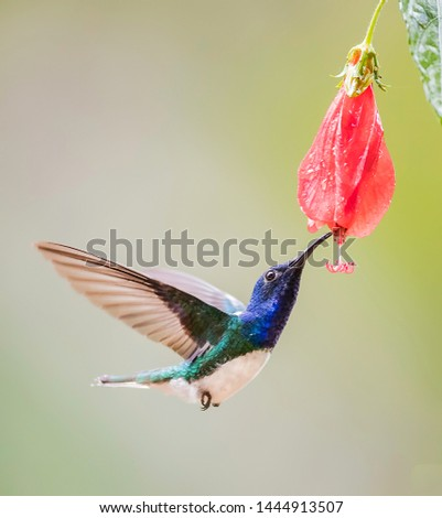 White necked jacobin dinking of a flower in flight #1444913507