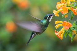 White-necked Jacobin (Florisuga mellivora) - hummingbird in Panama