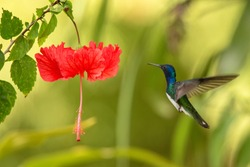 White-necked jacobin hovering next to red ibiscus flower, bird in flight, caribean tropical forest, Trinidad and Tobago, natural habitat, hummingbird sucking nectar, colouful background