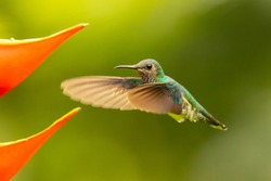 White necked Jacobin humming in flight on red flower in costa ri
