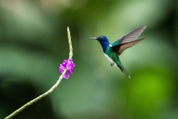 White-necked jocobin hovering next to violet flower, bird in flight, tropical forest, Brazil, natural habitat, beautiful hummingbird sucking nectar, colorful background, clear background, wildlife