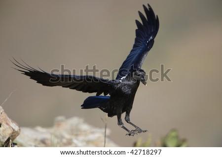 White-necked Raven (Corvus albicollis) in flight in South Africa