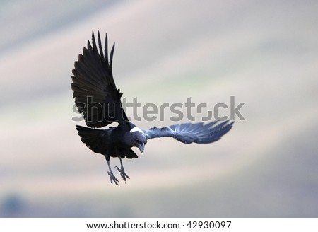 White-necked Raven (Corvus albicollis) in flight in South Africa