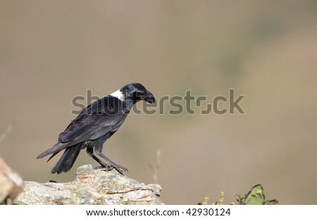 White-necked Raven (Corvus albicollis) sitting on the rock in South Africa