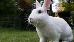 White netherland dwarf rabbit with blue eyes looking in the distance. Paying close attention to possible dangers. Close Up. Low angle.