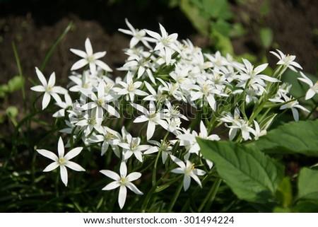 White night star flower bush in summer home garden