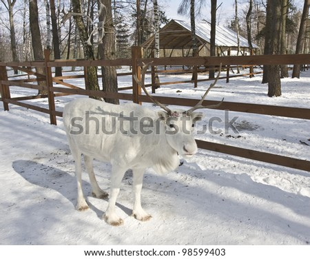 White Northern deer standing on snow in forest, behind building for feeding deers.