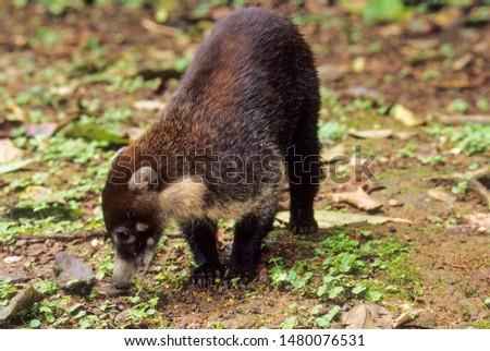 White Nosed Coati a nocturnal mammal