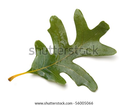 White Oak (Quercus alba) leaf.