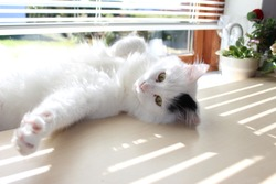 white og black cat breed Turkish Van Vankedisi or Turkish Angora