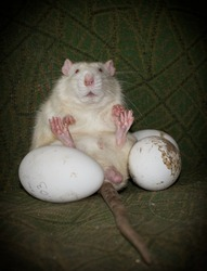 white old lab rat who stole three eggs from geese is sitting in his den