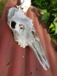 White old skull of an unknown animal