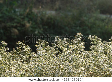 white-oldfield-aster is a Korean perennial herb that grows in seeds or rhizomes and is a naturalized plant native to North America