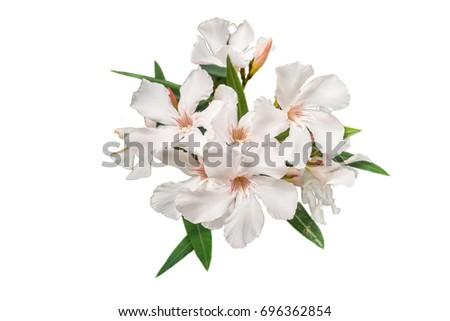 White oleander flower isolated on white background ez canvas white oleander flower isolated on white background mightylinksfo