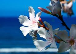 White Oleander flowers (Oleander Nerium) on a blue sky and ocean background.
