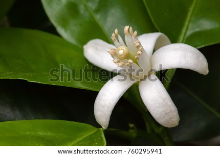 White Orange Blossom among leaves. Extreme close-up macro with a view of the flower anatomy. Long shallow depth of field.