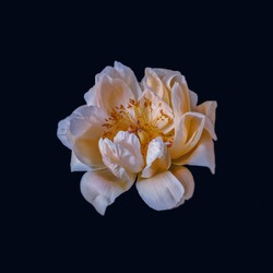 White orange peony blossom macro on dark blue background in vintage painting style