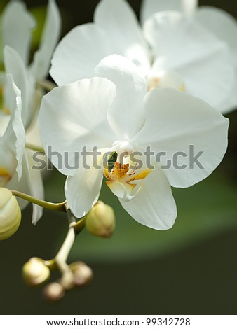 white orchid flower - stock photo