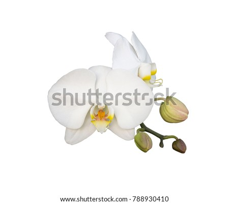 white orchid flower isolated on white background #788930410