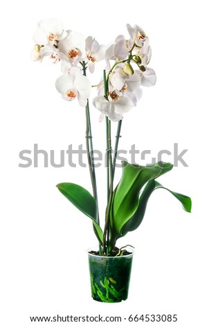 White orchid in pot with many flowers, isolated on white background #664533085