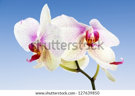 White Orchid isolated at a blue sky