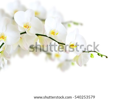 White orchid isolated on white