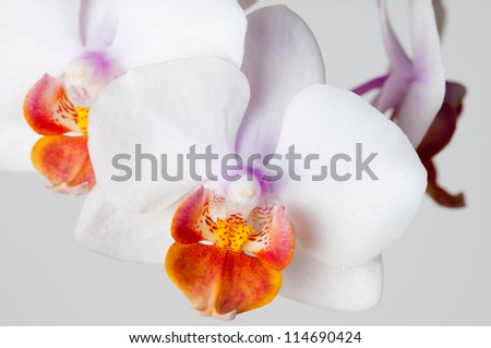 White orchid macro