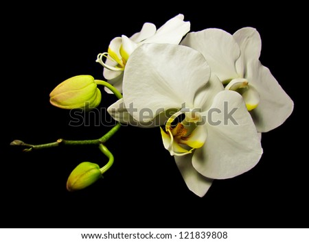 White Orchid - Macro of a white orchid plant and its blooming flowers with two greed buds on a black background.