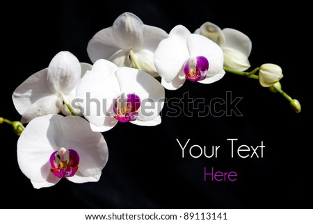 White Orchid on black background and room for text