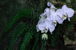 White Orchid on dark backgound in glass house.