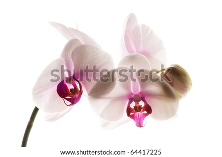 White orchid on white