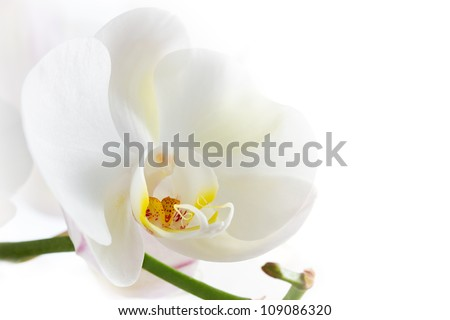 white orchid on white background