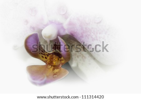 White orchid, yet colorful, with a big waterdrop in the center, in a dreamy composition with lots of copy space