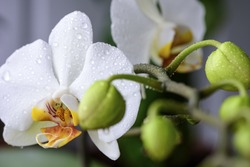 White orchids close up of blossom on a branch