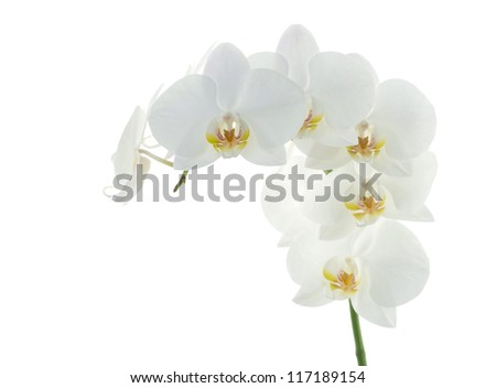 white orchids flower isolated on white background