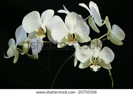 White orchids on black background