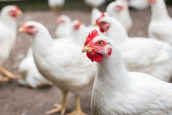 white organic chicken free range